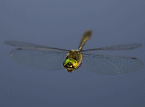 Dragonfly—King of the Flying World